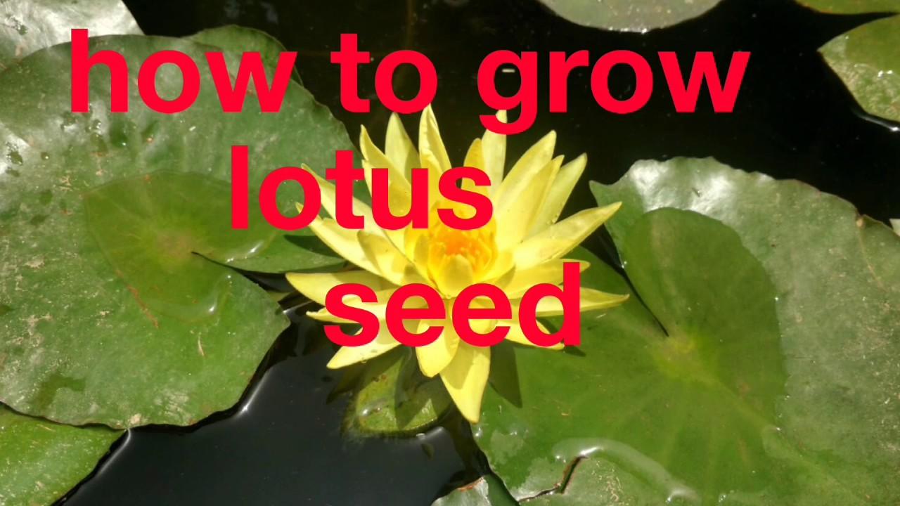 Kamal ke seed kese ughaye asani se how to grow lotus seed easily kamal ke seed kese ughaye asani se how to grow lotus seed easily izmirmasajfo Images