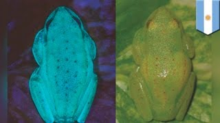 Fluorescent frog discovered in Argentina, but can only be seen under ultraviolet light   TomoNews