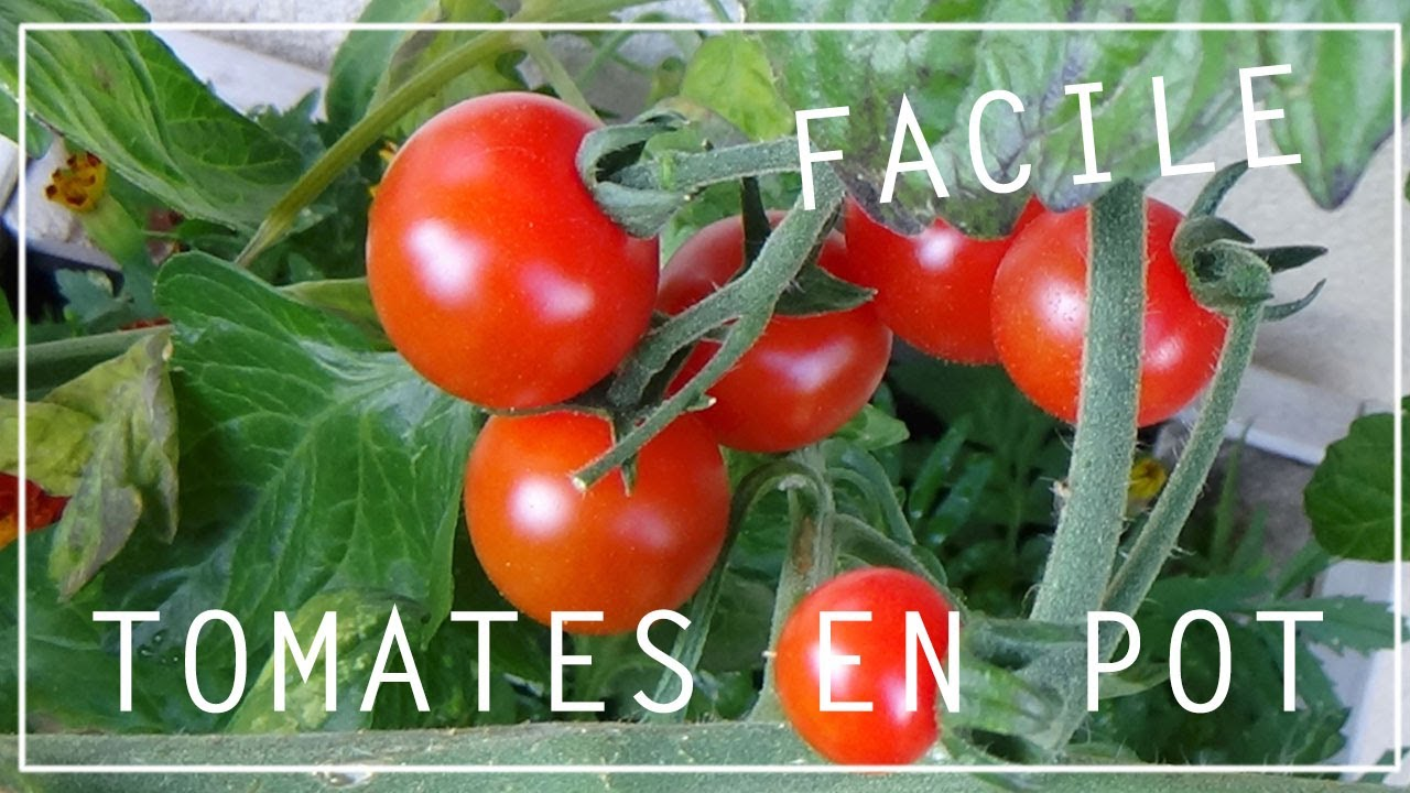 cultiver les tomates en pot 5 choses savoir youtube. Black Bedroom Furniture Sets. Home Design Ideas