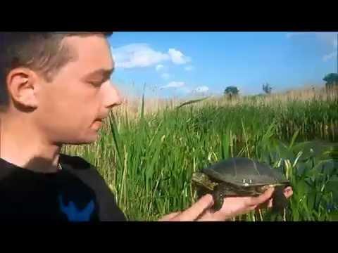 Болотная Черепаха;) Дайте им Свободу!!! Emys orbicularis