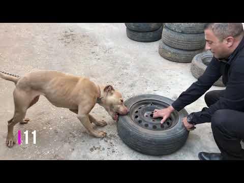 كلب بيتبول يفجر 12 عجل سيارة مع جمال العمواسي