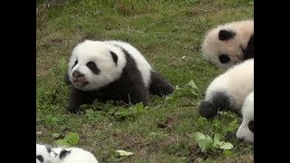 Cute panda makes meow sounds | CCTV English