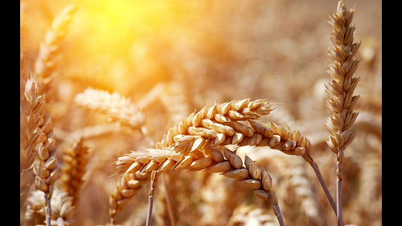 Difference Between Wheat vs  Barley – Difference Wiki