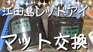 誕生日プレゼントに頂いた江田島レッドアイ幼虫のマット交換をしました...