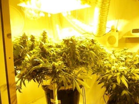 How To Grow Dwc Cannabis Pt 14 Blue Dream Harvest Youtube