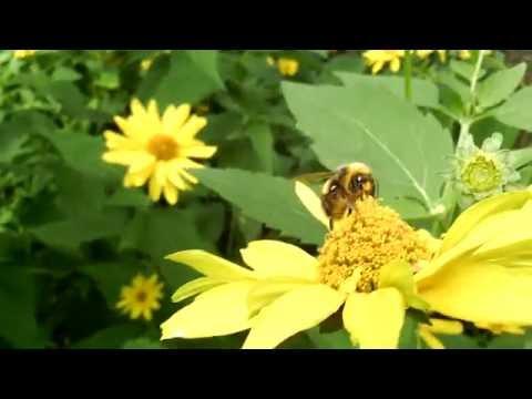 Шмели насекомые.Bumblebees.