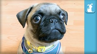 Silly Little Pug Puppy Wants to Play With Camera - Puppy Love