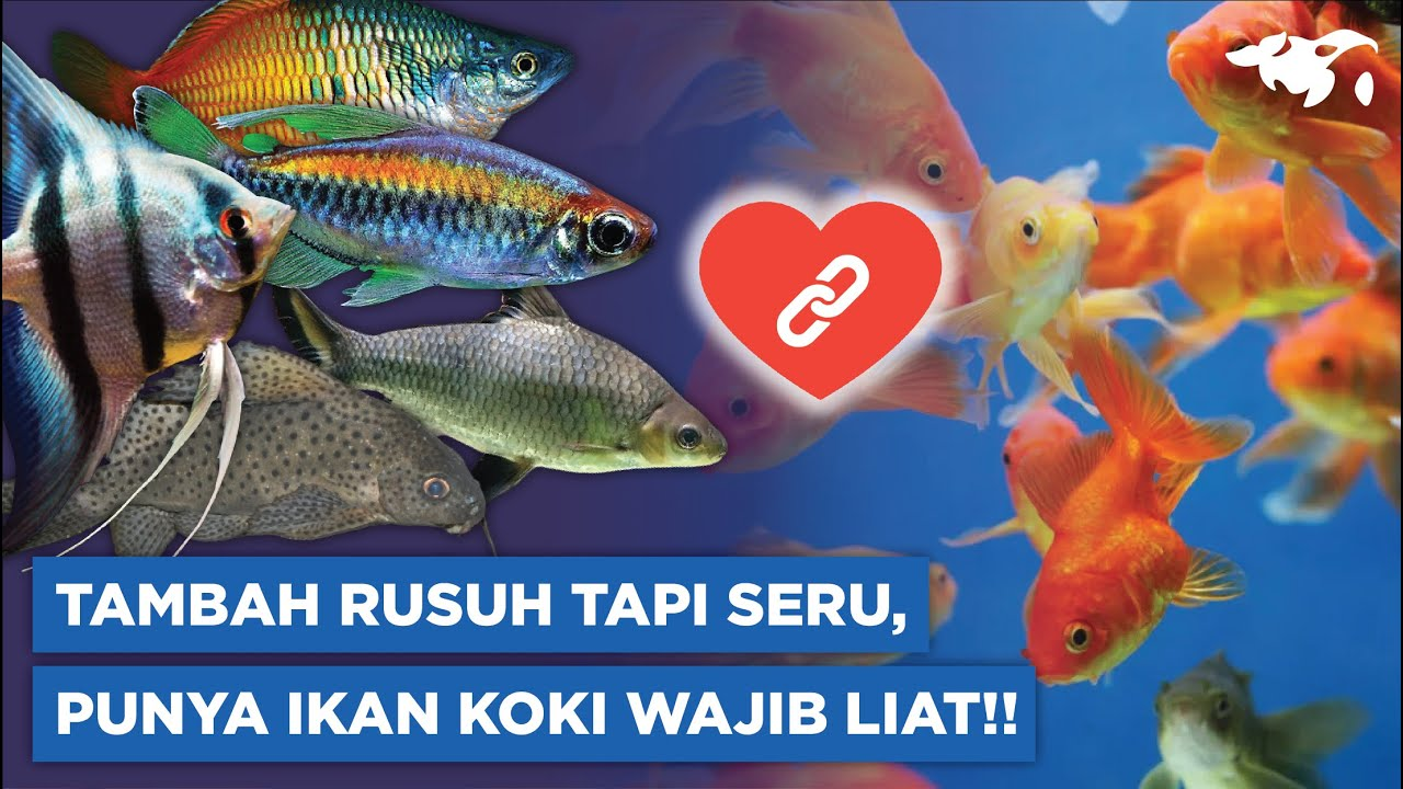 Ikan Koki Cocok Digabung Sama Siapa Ini 9 Tankmate Buat Ikan Koki Youtube