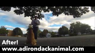 Dog Training Montage, English Mastiff Puppy