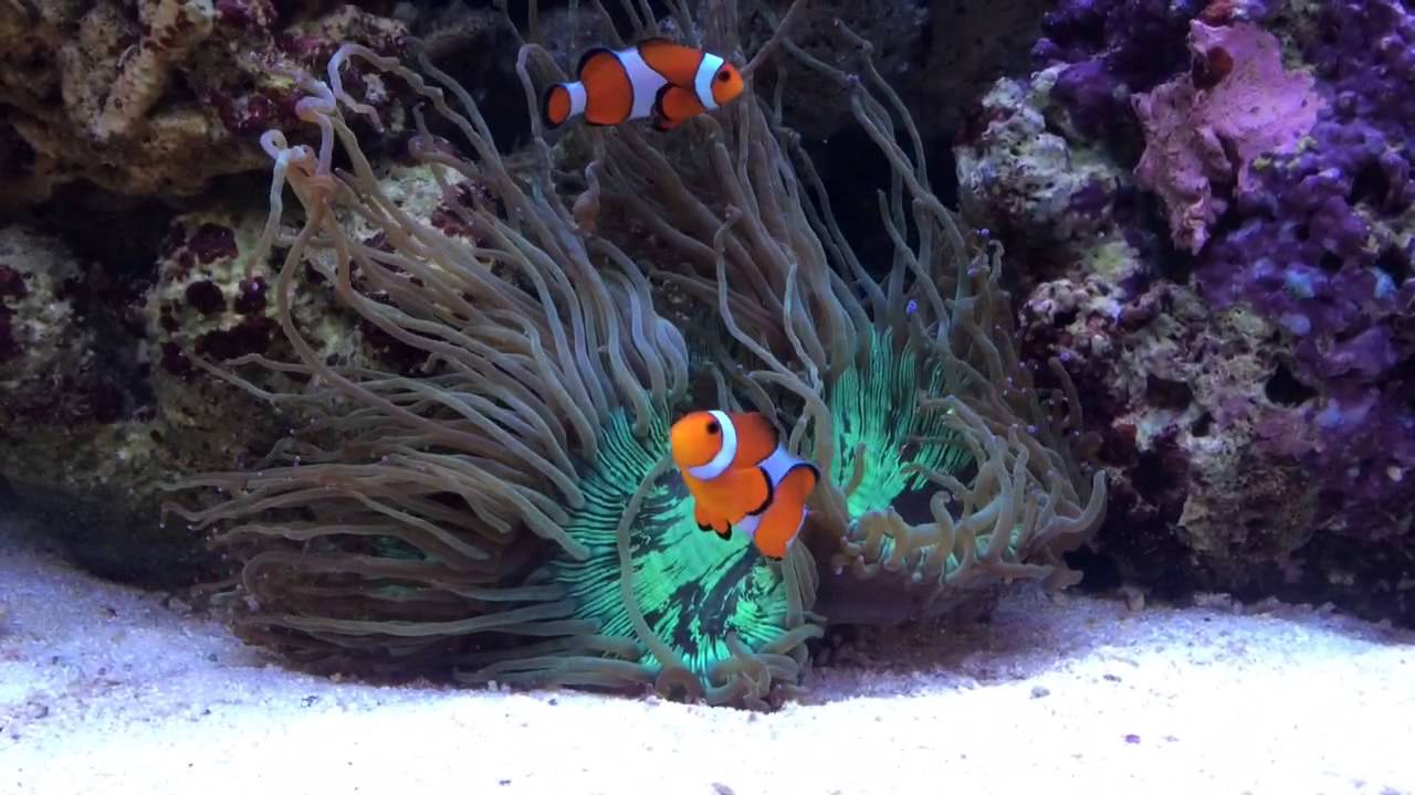 Purple Tipped Elegance Coral Youtube
