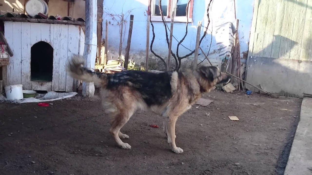 метис фото собака