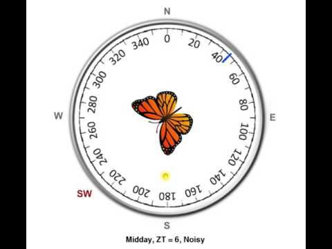 Time-compensated compass in monarch butterfly - Midday