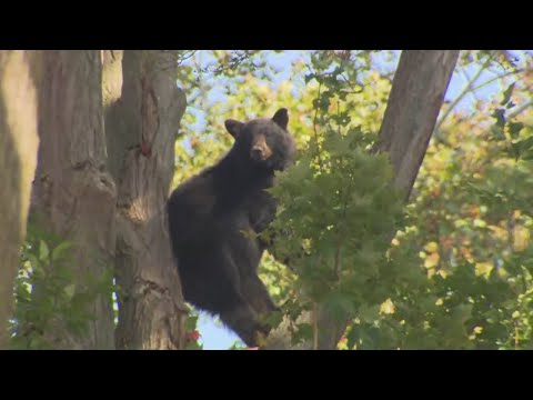 2 Bears Up In Tree In Amesbury