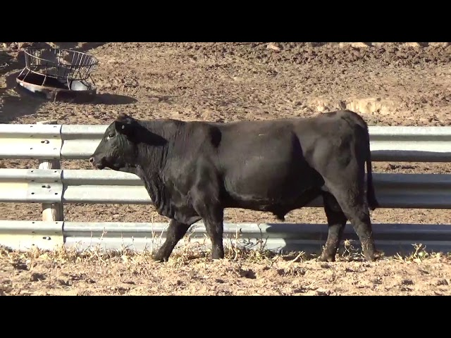 Connealy Angus Lot 202
