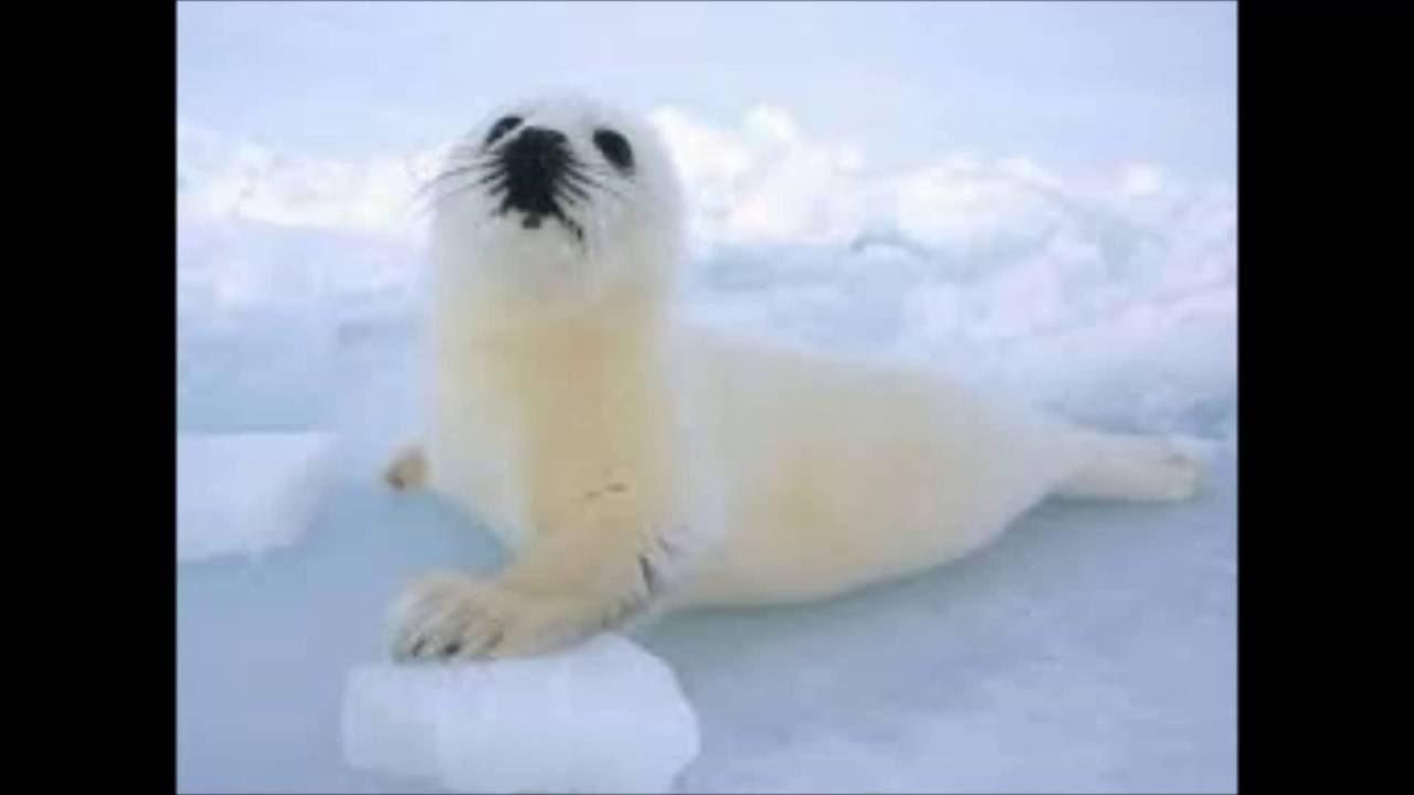 21+ Foto anjing laut terupdate