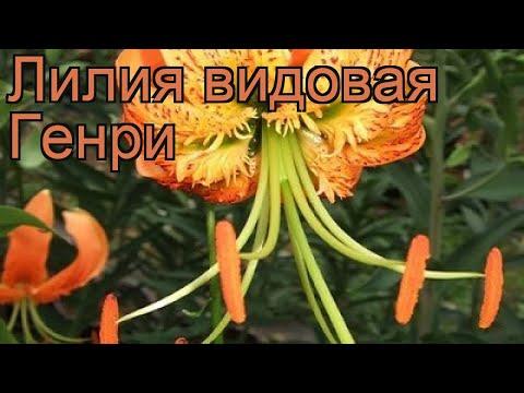 Лилия видовая Генри (lilium) 🌿 видовая лилия Генри обзор: как сажать, луковицы лилии Генри