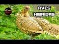 HIBRIDOS DE AVES - HIBRIDOS DE PAJAROS - HIBRIDOS DE GALLINA - cruces de gallinas con otras aves
