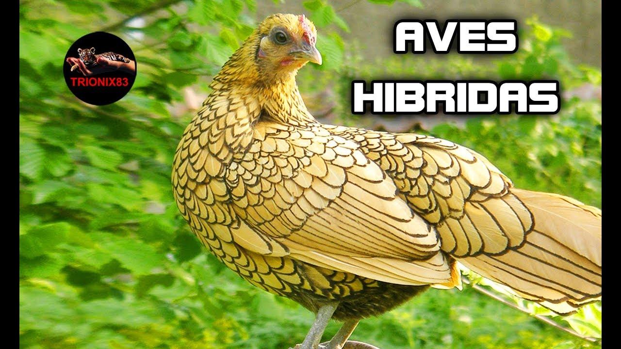 Hibridos De Aves Hibridos De Pajaros Hibridos De Gallina Cruces De Gallinas Con Otras Aves Youtube