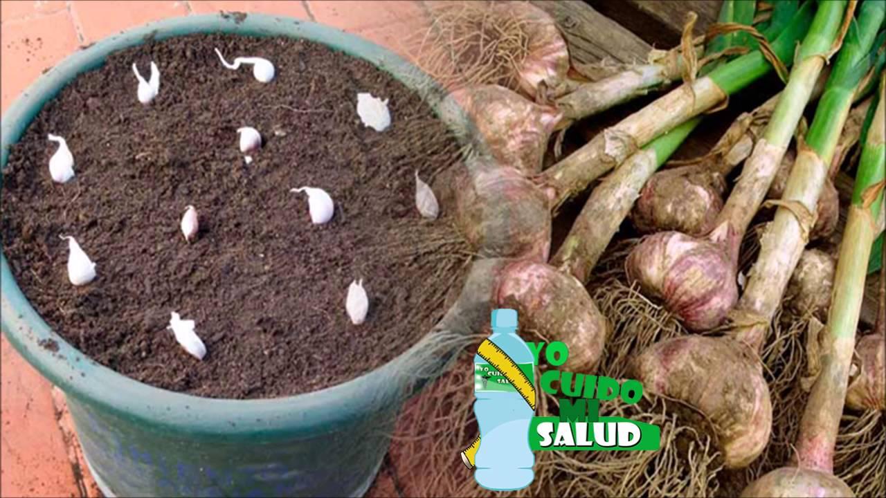 Aprende a sembrar ajo en tu casa y ahorrar s dinero para - Como plantar marihuana en casa paso a paso ...
