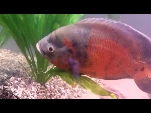 A Warning About Oscar Fish And Planted Tanks.