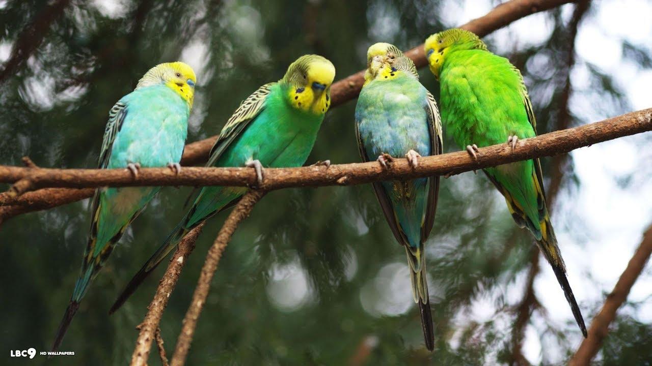 Parakeet Pairs - Budgie (Parakeet)