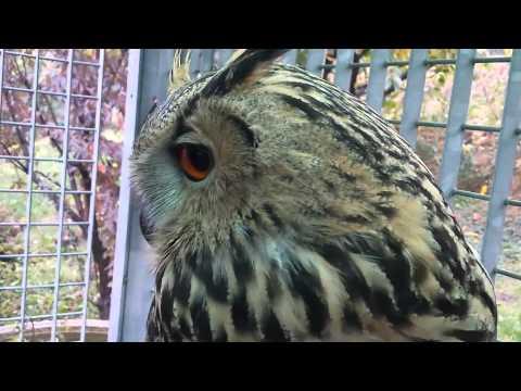 Addestramento e coccole a Gufo Reale, Bubo Bubo Eagle Owl, di 7 mesi!