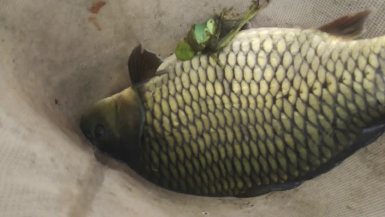 Penampakan Ikan Tombro Besar Youtube