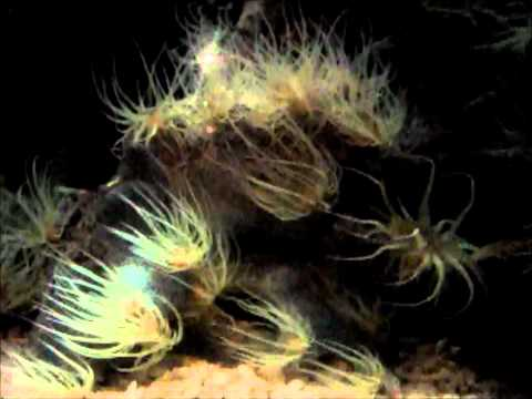 British Wildlife Clips - Snakelocks Anemone