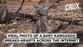 Australian Fire: Viral Photo Of Burnt Kangaroo Shows Extent Of Devastation