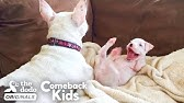 Nubby The 2-Legged Boxer Steals His Dad's HeartThe Dodo Comeback Kids