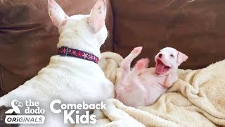 nubby-the-2-legged-boxer-steals-his-dad-s-heart-the-dodo-comeback-kids