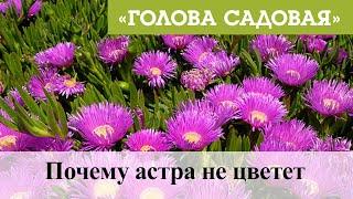 Голова садовая - Почему астра не цветет