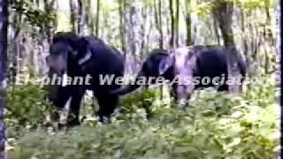 Repeat youtube video Gajah