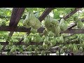 WOW! Amazing Agriculture Technology - Chayote