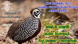 Download TERBARU 2021||SUARA PIKAT BURUNG PUYUH HUTAN||COCOK BUAT PIKAT BOSLURR