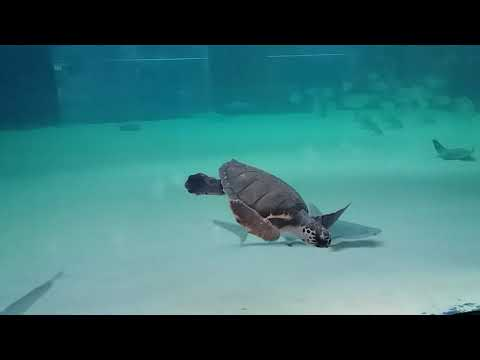 Sea Turtle - Valencia- Oceanografic