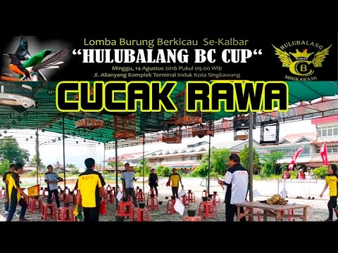 KONTES BURUNG | BURUNG CUCAK RAWA | HULUBALANG BC CUP SINGKAWANG