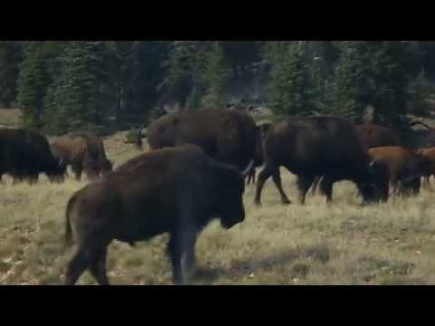 American Bison Herd Outside of Grand Canyon National Park