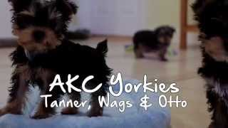 Puppies For Sale - Tanner / Wags / Otto - Akc Yorkies