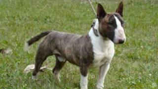 Bull Terrier Miniatura Kennel Coraje,argentina ,