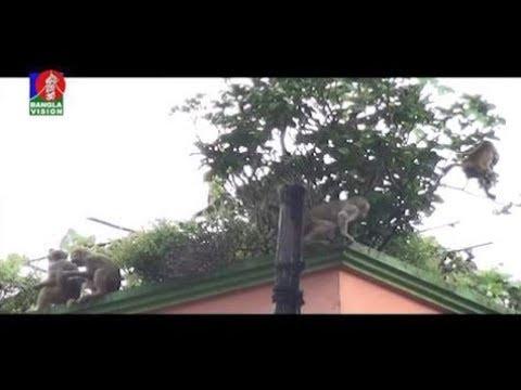 Download বানর কেন লোকালয়ে ? Monkey, N Gangj | BanglaVision NEWS