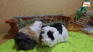 МОРСКИЕ СВИНКИ / Приколы с животными / Смешное видео с животными