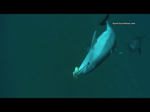 Do Dolphins Get High On Pufferfish Toxin?