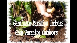 Grow Parsnips  Start them indoors grow them outdoors