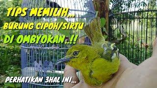 Gambar cover Tips memilih burung cipoh/sirtu ombyokan