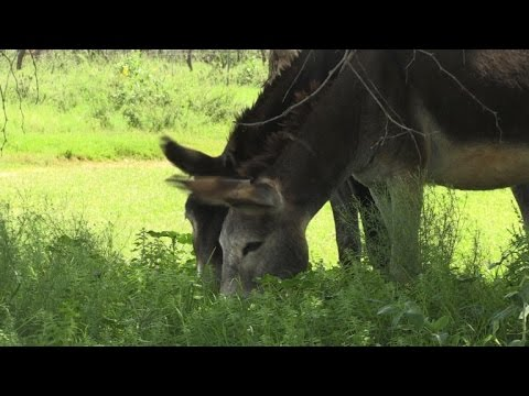 African donkeys butchered to feed China's demand for skins