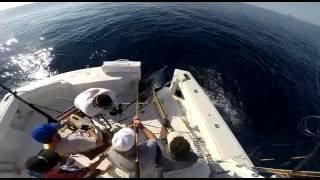 Bull Rider's Blue Marlin 427 lb