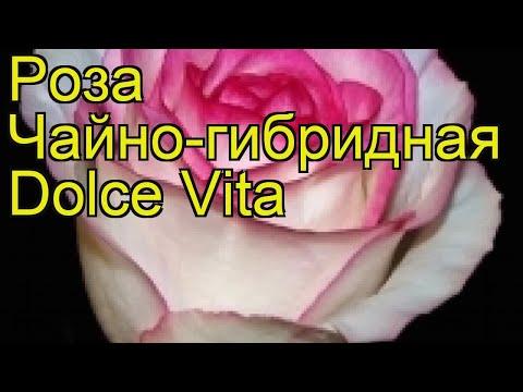 Роза чайно-гибридная Дольче Вита. Краткий обзор, описание характеристик Dolce Vita