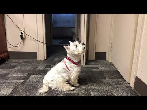 WEST HIGHLAND TERRIER BARKS. CUTE!