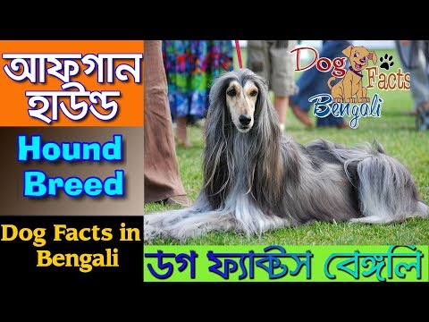 Afghan Hound dog facts in Bangla | Fastest Dog | Dog facts Bengali